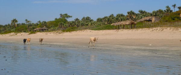 Cows walking along the Gambian shoreline.