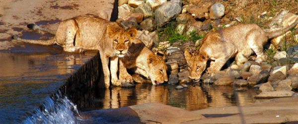 Three lion cubs drinking from a river in the reserve.