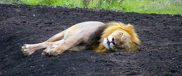 A sleepy lion takes a rest on a track in the reserve.