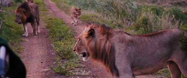 A pride of lions stalks invigoratingly close to our safari truck.