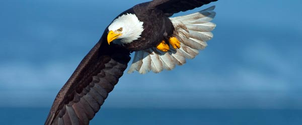 The bald eagle, the animal icon of America, soars over the Aleutian Islands in Alaska.