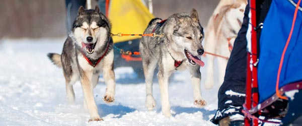 A team of sled dogs race through the frozen wilderness.
