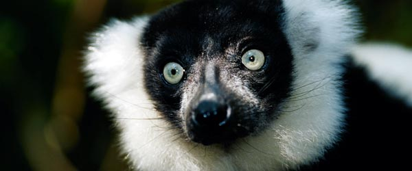 A delightfully cute, big-eyed lemur! This is Madagascar's most famous animal resident.