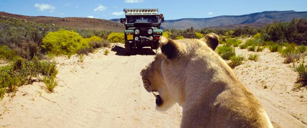 Get so close on safari that the animals watch you!