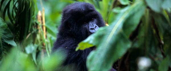 A mountain gorilla hides in the dense forests of Rwanda.