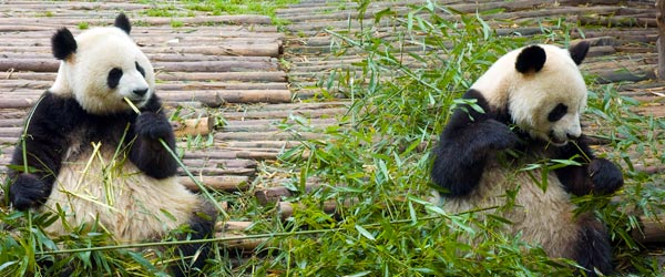 Two giant pandas feasting on bamboo in central China.