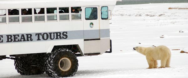 A curious polar bear stands beside a tundra buggy in Churchill.