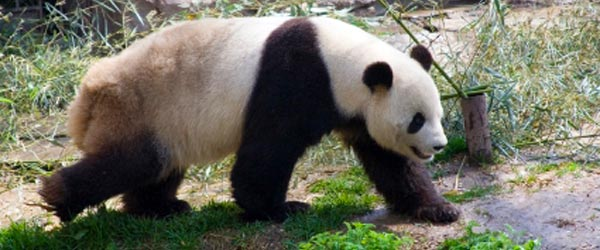 The Beijing Zoo is a great place to see China's iconic panda bears.