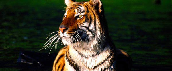 The Sunderbans is the world's largest delta and home of the Bengal Tiger.