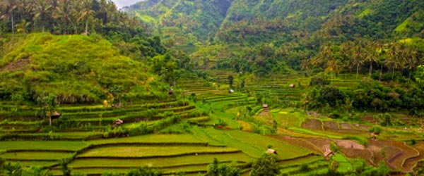 Terraced rice fields like these are typical of the Balinese landscape.