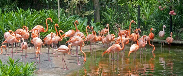 More flamingos than an elderly person's lawn at the Jurong Bird Park.