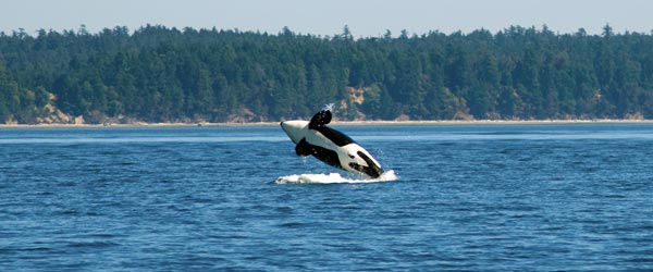A killer whale leaps out of the water off the coast of Vancouver Island.