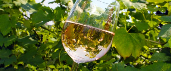 A glass of white wine next to some grape vines at a vineyard near Vienna.
