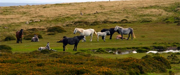 Horses in the Dartmoor National Park. Photo credit Patrick Gruban / Flickr CC BY-SA 2.0