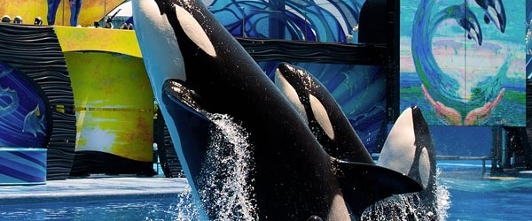 Killer whales performing in a show at SeaWorld Orlando.