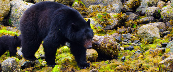 A black bear and her cubs foraging on the coast of Vancouver Island.