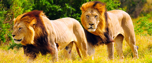 Two male lions on the move in South Africa's Addo Elephant National Park.