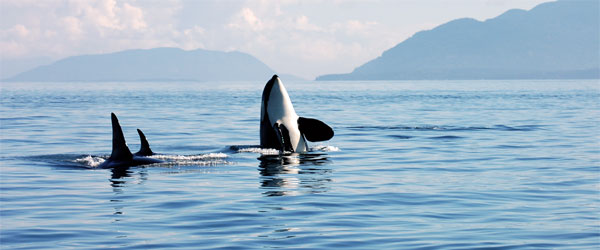 Though fierce, killer whales are also playful and docile creatures. Photo credit Wild Whales Captain Gary Sutton.
