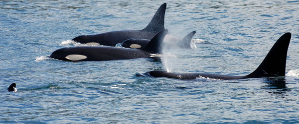A resident orca pod in the Strait of Georgia just offshore from Vancouver. Photo credit Wild Whales Captain Gary Sutton.