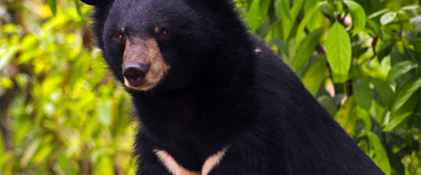 Asian black bears, with their distinctive chest patches, are also known as moon bears. Photo credit lamentables via Flickr.