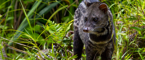 A Malay civet sighting in the Danum Valley Conservation Area. Photo credit Paul Williams.