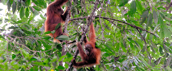 Two wild Orangutans in the Gunung Leuser National Park on Sumatra, Indonesia. Photo credit Michael Hoefner.