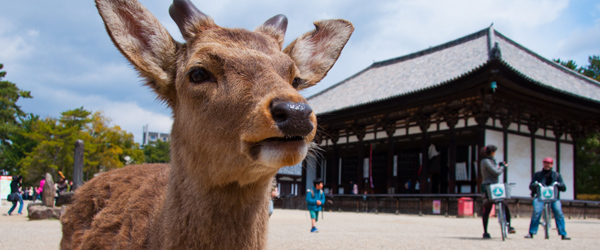 It doesn't get any more classic Nara than a deer and a temple.